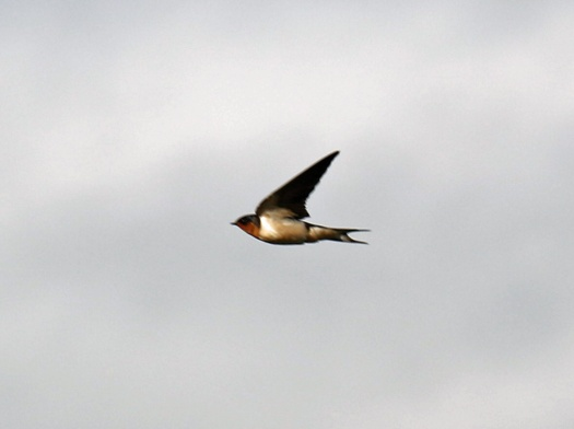barn swallow1
