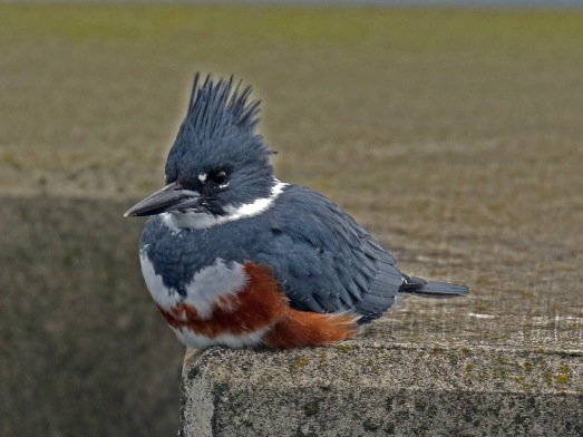belted kingfisher1