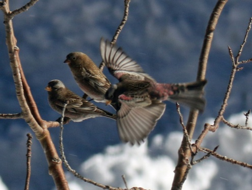 black and brown capped rosy finches
