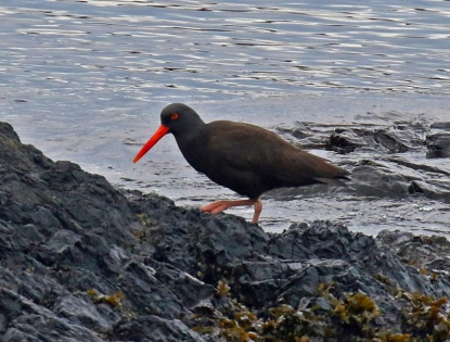 black oystercatcher2