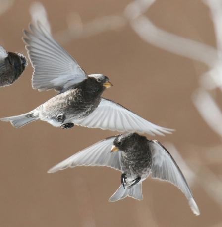 black rosy finch flight