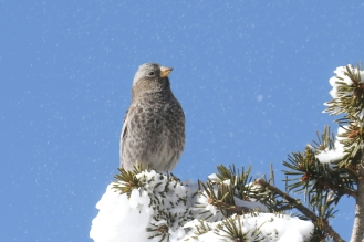 black rosy finch with snow dust