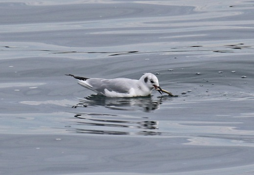 bonaparte's gull with fish