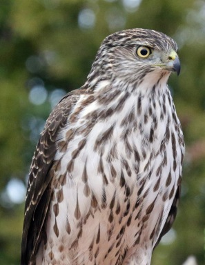 cooper's hawk2