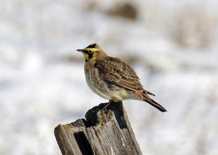 horned lark2