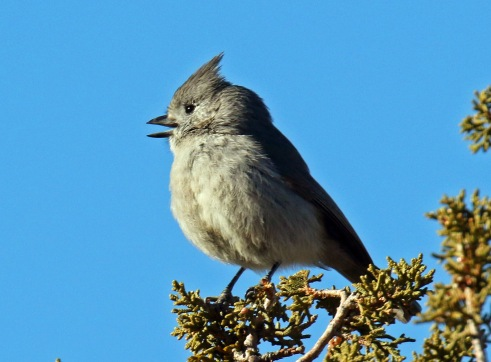 juniper titmouse1