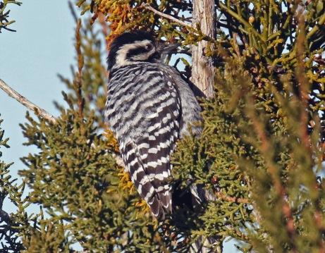 ladder backed woodpecker1