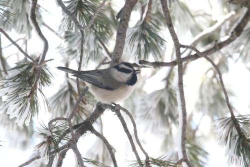 mountain chickadee with seed