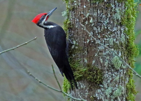 pileated wp