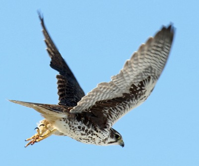 prairie falcon flight-r