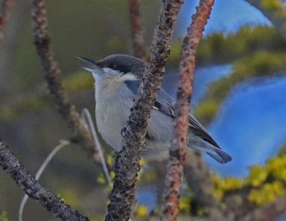 pygmy nuthatch1