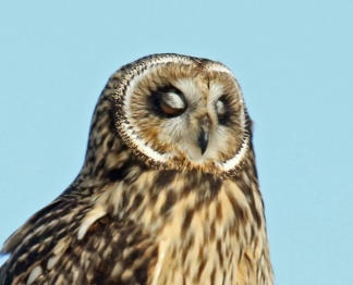 short eared owl eyes closed