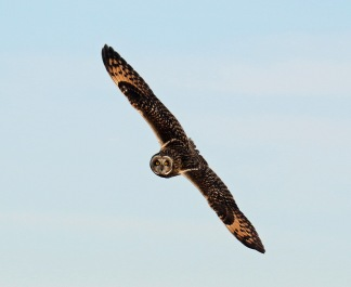 short eared owl flight1