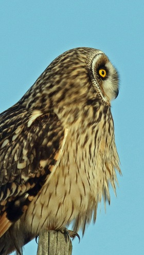 short eared owl2