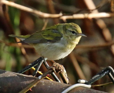 tennessee warbler fence1