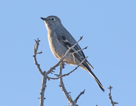 townsend's solitaire1