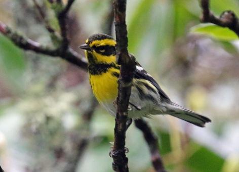 townsend's warbler1