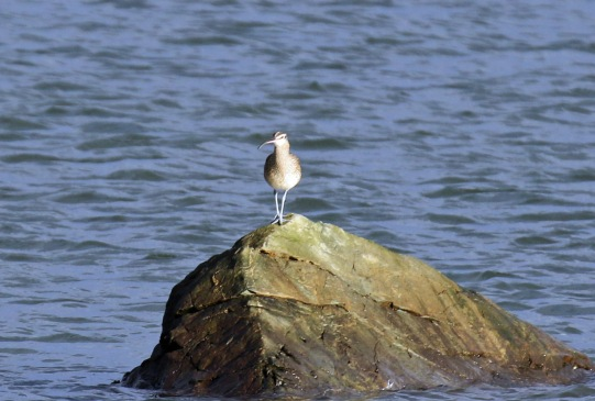 whimbrel on rock1