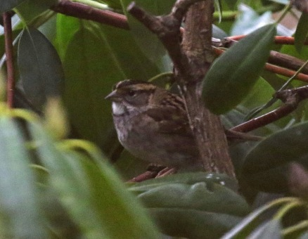 white throated sparrow2