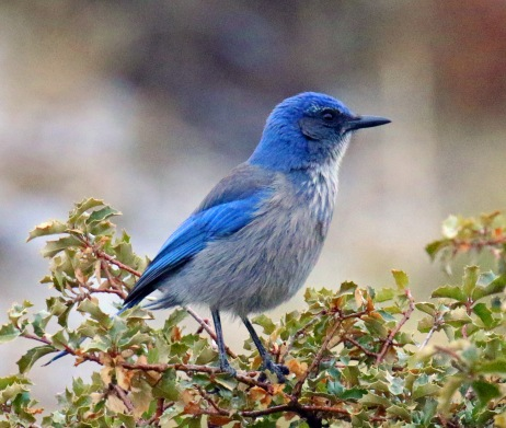 woodhouse's scrubjay1
