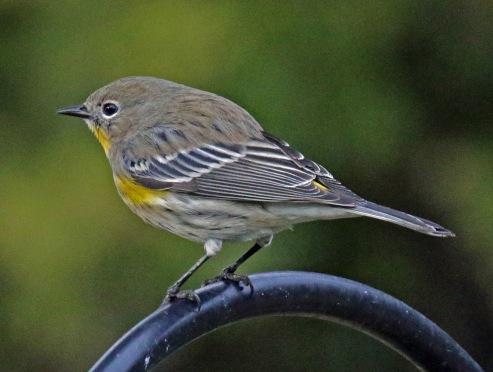yellow rumped warbler (2)