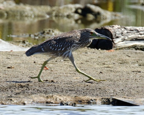 Black Crowned Night Heron Juvenile