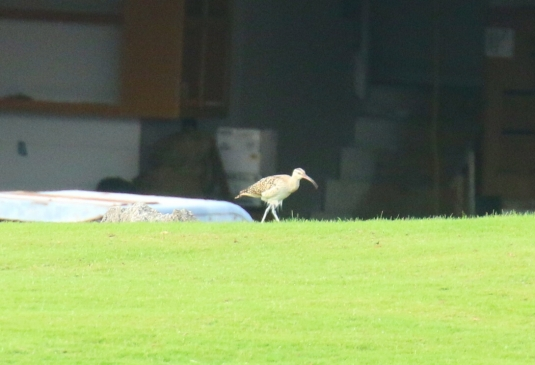 Bristle Thighed Curlew