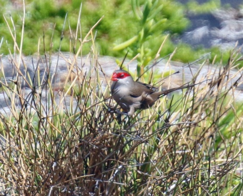 Common Waxbill1