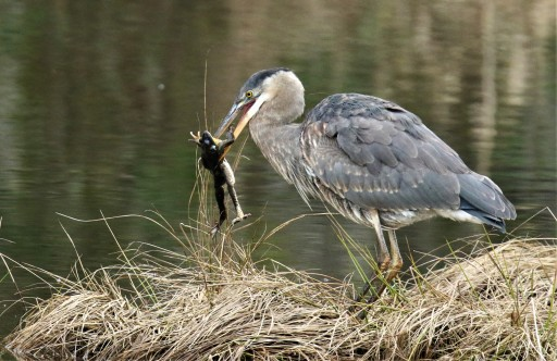 GBH with Frog1