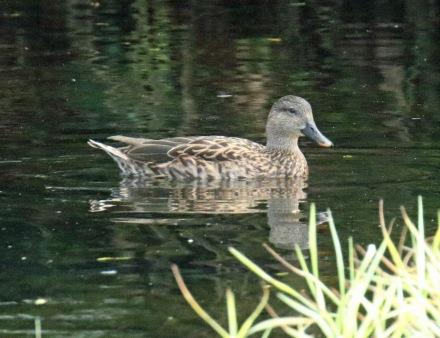 Hawaiian Duck1