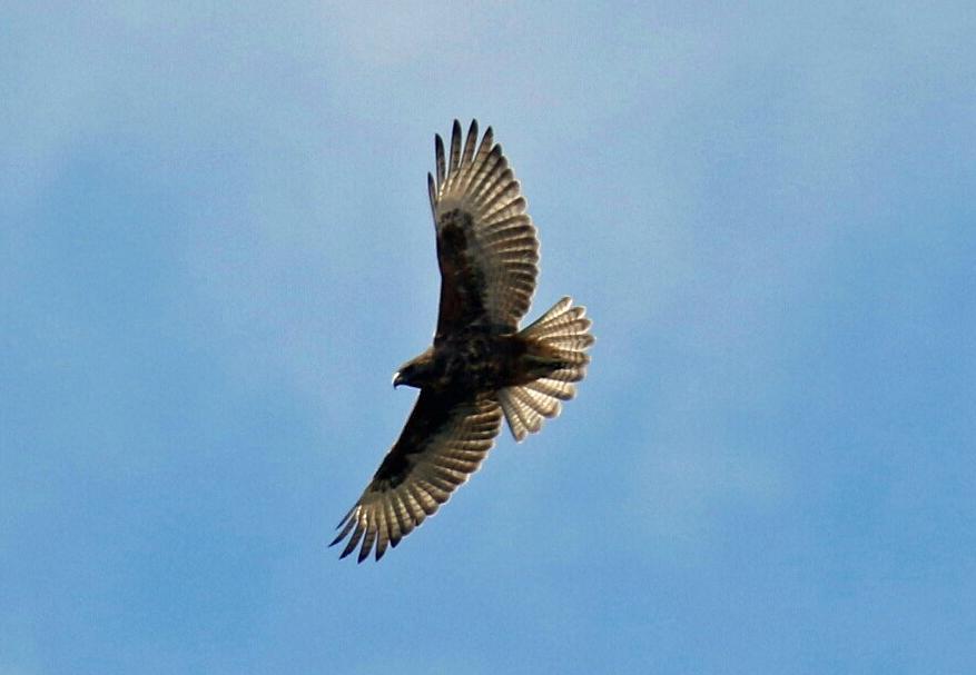 Hawaiian Hawk Flight