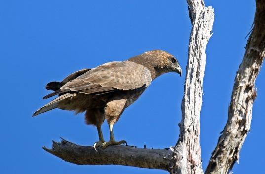 Hawaiian Hawk1