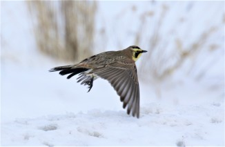 Horned LArk Flight