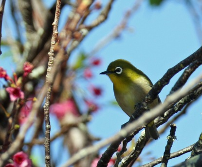 Japanese White Eye in Cherry Tree