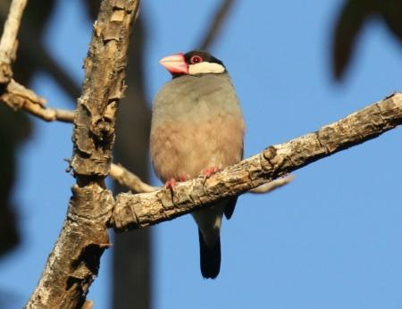 java-sparrow.jpg