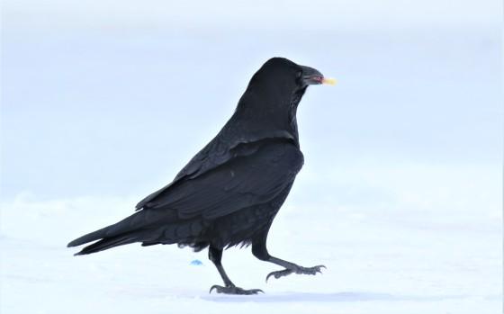 Junk Food Raven