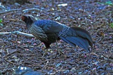 Kalij Pheasant Male