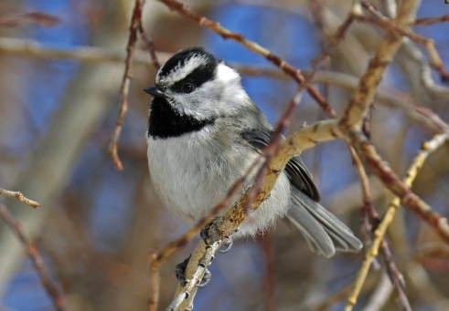 Mountain Chickadee (2)