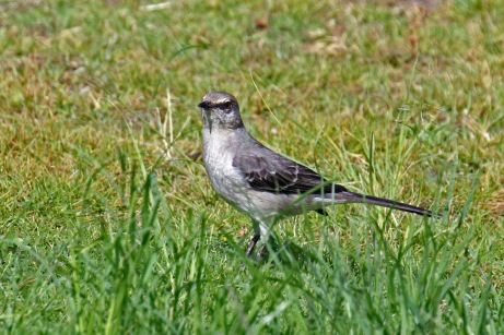Northern Mockingbird 1