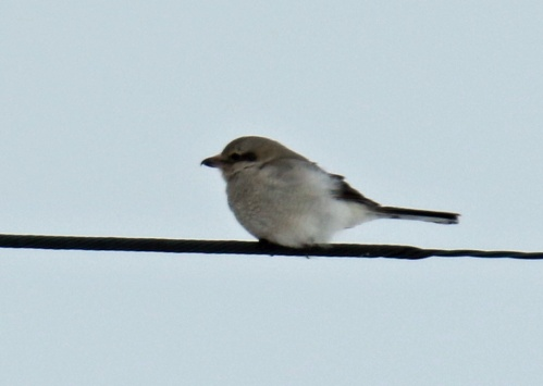 Northern Shrike (2)