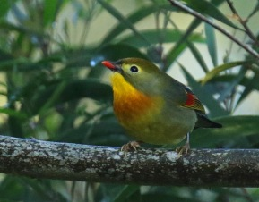 Red Billed Leiothorix