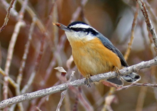 Red Breasted Nuthatch with Seed