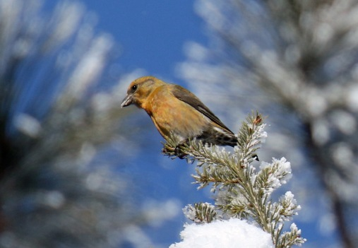 Red Crossbill1 (2)