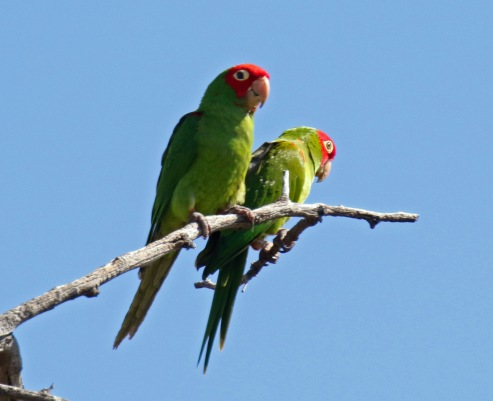 Red Fronted Parrots