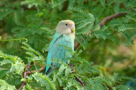 Rosy Faced Lovebird 2
