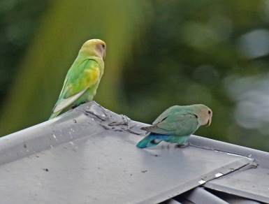 Rosy Faced Lovebirds1