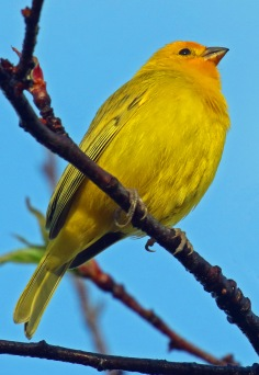 Saffron Finch1r
