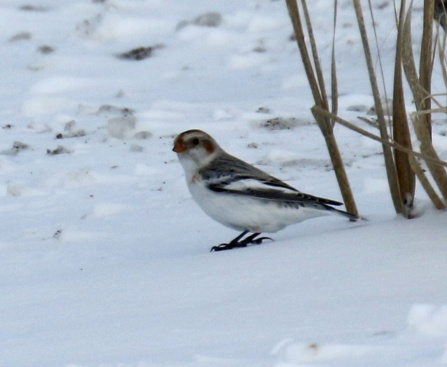 Snow Bunting (2)
