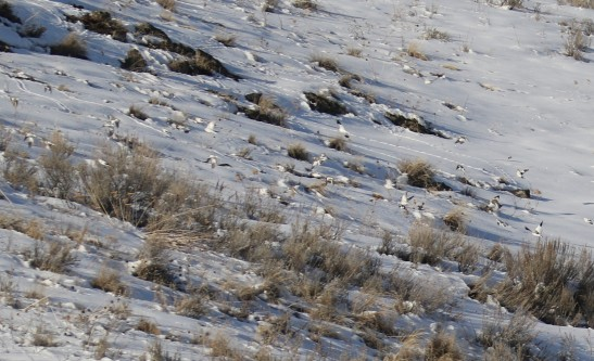 snow Buntings Ground