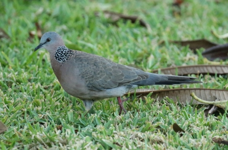 Spotted Dove 2